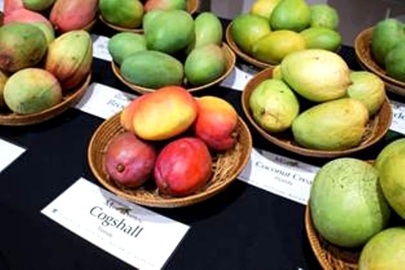 Mango Festival - Miami - Fairchild Garden mangoes